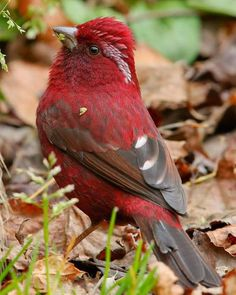 beautiful RED JAVA FINCH sparrow