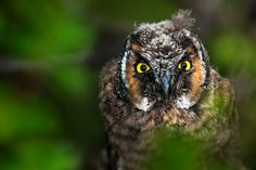 Owl   Angry Owl - A fledgling Long Eared Owl giving a ticked off look at ...