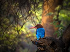 Kingfisher by devender meena on 500px