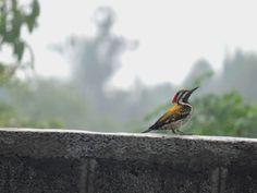 Lesser Flameback, Puducherry
