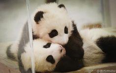 Twin giant panda babies Ouhi and Tohin!  iPanda.com