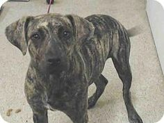 Tavares, FL - American Pit Bull Terrier Mix. Meet JASMINE, a dog for adoption. http://www.adoptapet.com/pet/13774539-tavares-florida-american-pit-bull-terrier-mix