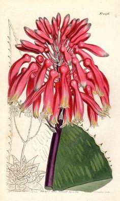 1811 Antique Botanical Print Aloe Curtis by AntiquePrintGallery, $25.00