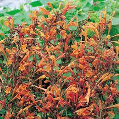 Agastache Apricot Sprite (dropplant), 50 en 70 cm hoog, juli tm september. Niet erg winterhard.