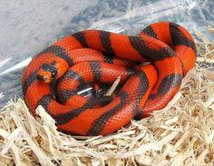 Aberrant Honduran milk snake