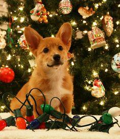 Welsh Pembroke Corgi  Merry Christmas Card Hound Puppy Holiday Dogs Santa Claus Dog Puppies #Corgis