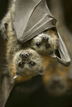 Mother Bat and Her Baby.