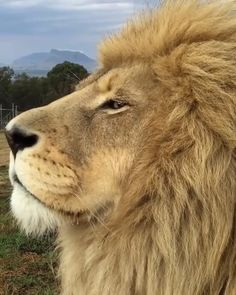 King Smokey with his massive mane looks a little sleepy Until something catches his attention! Lioness maybe 👀 So majestic even as he 😴 Harrismith, South Africa is part of Lion - Beautiful Lion, Animals Beautiful, Cute Funny Animals, Cute Baby Animals, Zoo Animals, Animals And Pets, Dog Lion Mane, Lion Love, Lion Pictures