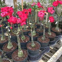 Resultado de imagem para adenium graft Tower, Plants, Red, How To Make, Durham, Desert Flowers, Desert Rose, Garden, School