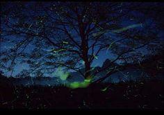 """The fireflies, twinkling among leaves, / make the stars wonder."" Rabindrinath Tagore"