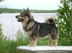 This is a Swedish Vallhund, which our dog Ginger looks like. They look like siblings lol