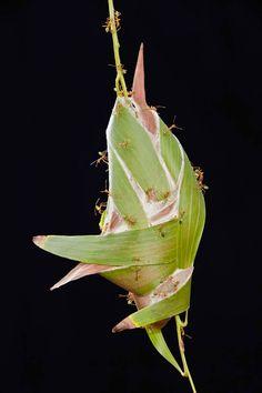 Fourmi Oecophylla, Autralie. Les nids sont construits par les fourmis qui utilisent leurs mandibules pour rapprocher les feuilles entre elles. Elles les cousent ensuite grâce à la soie produite par leurs larves. 10 constructions impressionnantes qui démontrent que les animaux sont de formidables architectes