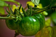 I thought you could like this one a picture I took with my macro lens of some cherry tomatoes just starting to grow!