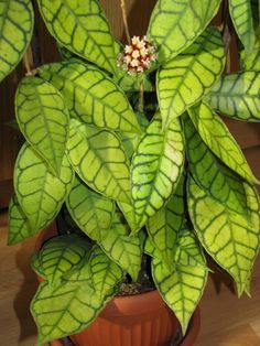 Hoya callistophylla- I want this plant!!