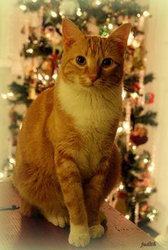 Risultati immagini per orange tabby cat christmas #TabbyCat