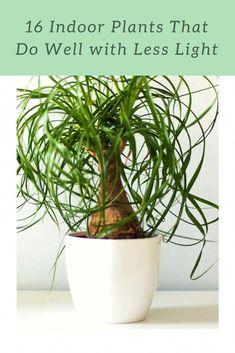 Ponytail Palm Beaucarnea Recurvata In A White Pot Indoorplants Plants