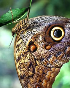 Owl butterfly, Costa Rica...its markings look like the eye of an owl and protects this butterfly from attack by birds.