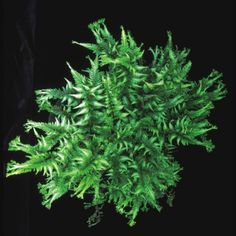 Applecourt Crested Painted Fern - Hardy Fern  Same great colors of the Japanese Painted Fern with the addition of cresting which gives this fern a fuller
