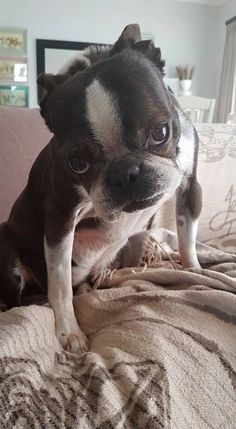 You haven't been given the Stink Eye until you've been given the Boston Terrier Stink Eye! -- Kre