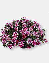 Petunia Rosy Ripple - Viherpeukalot