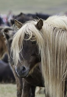 Iceland horses. ~ They have a very, girly -for lack of a better word- look about them!!!! They are truly lovely horses!!!!!