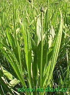 Léčivé rostliny - Jitrocel několik variant jitrocelového sirupu, rady pro sběr