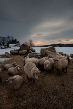 """Light Falls:  The low this evening will be 12° F.  The ewes are warm in full fleece, 10-12 lb of wool with a staple length of 3-1/2""""."""