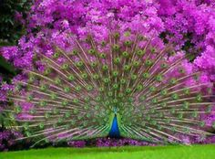 Peacocks are pretty with purple