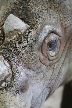 Sumatran rhinoceros, also known as hairy rhinoceros or Asian two-horned rhinoceros (Dicerorhinus sumatrensis)