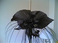 Flor del diablo u orquidea negra
