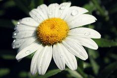 daisy by Amy Jo Huffer, via Flickr