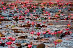 Water lilies in Angkor Wat