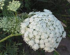 carrot_flower.jpg (728×570)