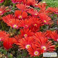 Delosperma Red Mountain® Flame is a tough, vigorous cold hardy Ice Plant with large blazing orange-red flowers in late spring and early summer. Delosperma Red Mountain® Flame Ice Plant is a Plant Select award winner. Drought resistant/drought tolerant plant (xeric).