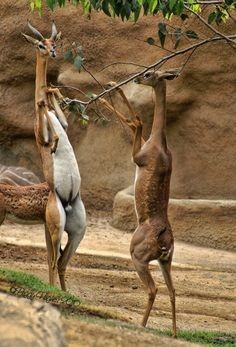 Gerenuks or Waller's Gazelles are well-known for their ability to stand on their hind legs to fee...
