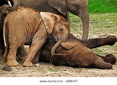 african-elephant-loxodonta-africana-calves-lie-down-to-sleep-while-ABW47F.jpg (1300×955)