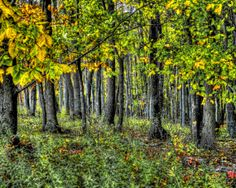 Anna's Trunks - Wall Art - Decor - Landscape - Photography - Nature - Autumn  - Trees - Forest - Woods - Fall Colors