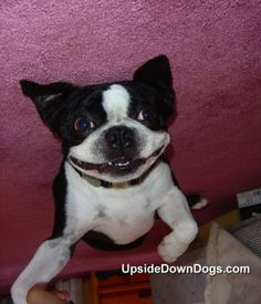 funny boston terrier pictures | Mordy The Boston Terrier - Funny Pictures of Puppy Dogs Upside Down
