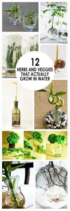 12 Herbs and Veggies that ACTUALLY Grow in Water| Herbs and Vegetables, Easy to Grow Herbs and Vegetables, Gardening, Gardening TIps and Tricks, Indoor Gardening, Indoor Gardening Tips and Tricks, Popular Pin