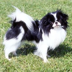 Japanese Chin...how can you not love this???