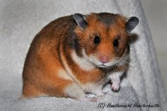 Golden SH Syrian Hamster, Cute Hamsters, Colours, Pets, Animals, Image, Animaux, Animal, Animales