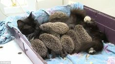 Meet Musya the cat and her hoglets!