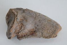 Currently at the Catawiki auctions: Dinosaur claw - Bothriospondylus madagascariensis - 125 mm, Jurassic (160 -145 mil y) - Kamoro, Madagascar
