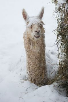 llama in a snowstorm,- Photography by Edwin Remsberg