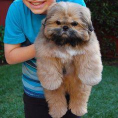 Shih Tzu ... puppy Dougie. TBT #ShihTzupuppy