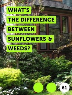Learn What's the Difference Between Sunflowers & Weeds?