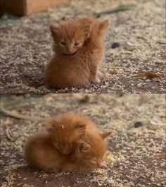 I can't handle these wittle tiny ginger baby furball kitty snuggles