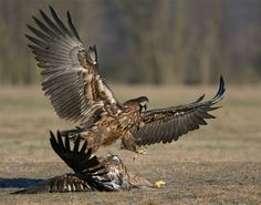 "Like a real winner this young White-tailed Eagle throws its wings and left leg up in a victorious pose after he did press his opponent flat on the ground with his right talon.  Shot taken near Kutno in mid Poland.  A big thanks to Marcin Nawrocki <a href=""http://www.polandwildlife.com"">Poland Wildlife</a> and his cousin Alexander for the great time I've had.  ©<a href=""http://www.hewaph.com"">Harry Eggens</a>  Best wishes,  Harry"