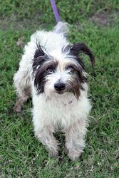 Ruffles is an adoptable Terrier Dog in Pflugerville, TX. Adoption application: http://www.pflugervilletx.gov/DocumentView.aspx?DID=810 Foster application: http://www.pflugervilletx.gov/DocumentView.as...