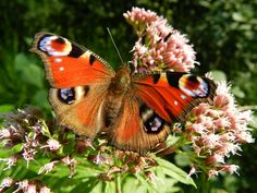 #butterflies #butterfly #nature #beautiful #amazing #bellissime #farfalla #farfalle #flowers #flower #fiori #natura #fiore #incanto #meravigliedellanatura #meraviglie #light #luce #eyes #occhi #orange #arancio #black #nero #violet #viola #pink #rosa